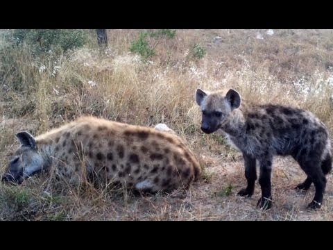 Interesting Calls Made By A Spotted Hyena - Latest Sightings