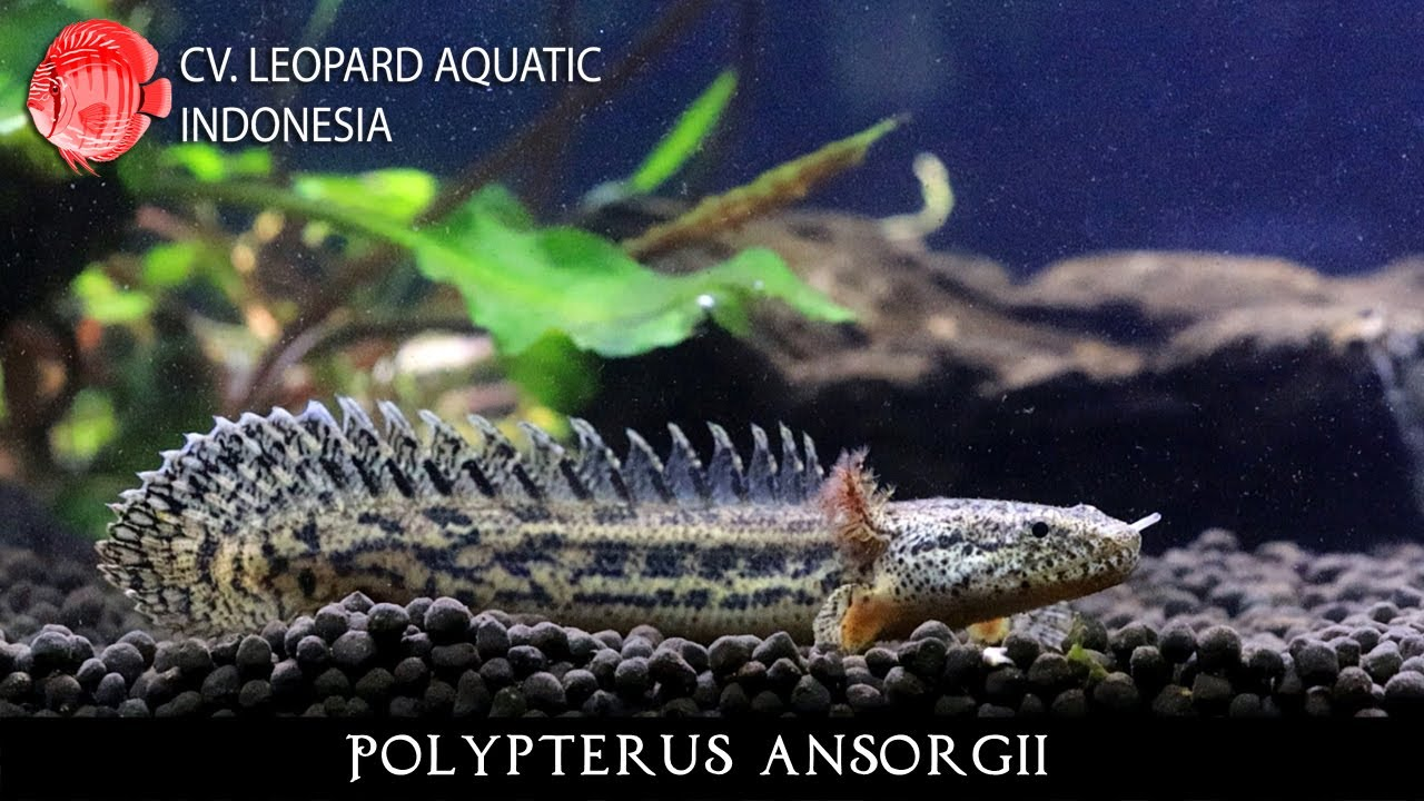 Polypterus Ansorgii The Mighty Guinean Bichir Leopard Aquatic D017a Youtube