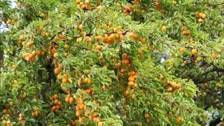 Der Mirabellenbaum - Warum wir mit Freiheit nicht umgehen können