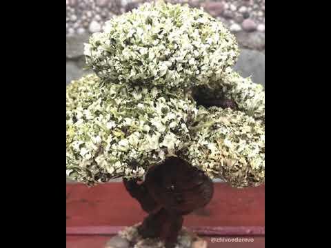 Дерево цетрария с кроной из 6 шапок. До и после ...