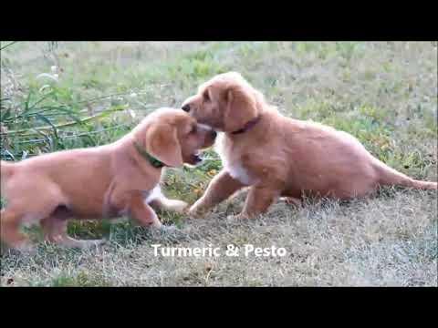 6 1/2 Week Old Labradoodle Puppies