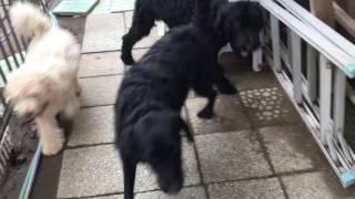ラブラドゥードルの子犬、ジョー君と、里帰りステイ中のボンド君、その...