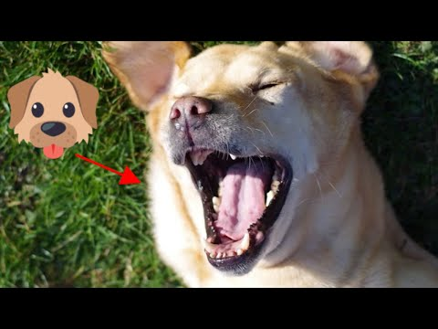 Talent Dog Singer Song – Dogs Singing Songs 2019 (Funny & Cute) 🐶