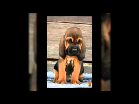 How To Train A Bloodhound Puppy