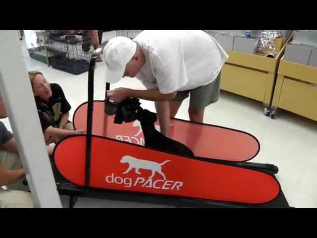 dogPACER in PETCO - dog treadmill. The first time on a treadmill