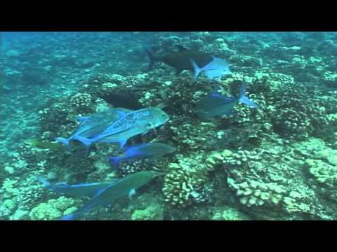 Best Hawaiian Reef Fish Frenzy