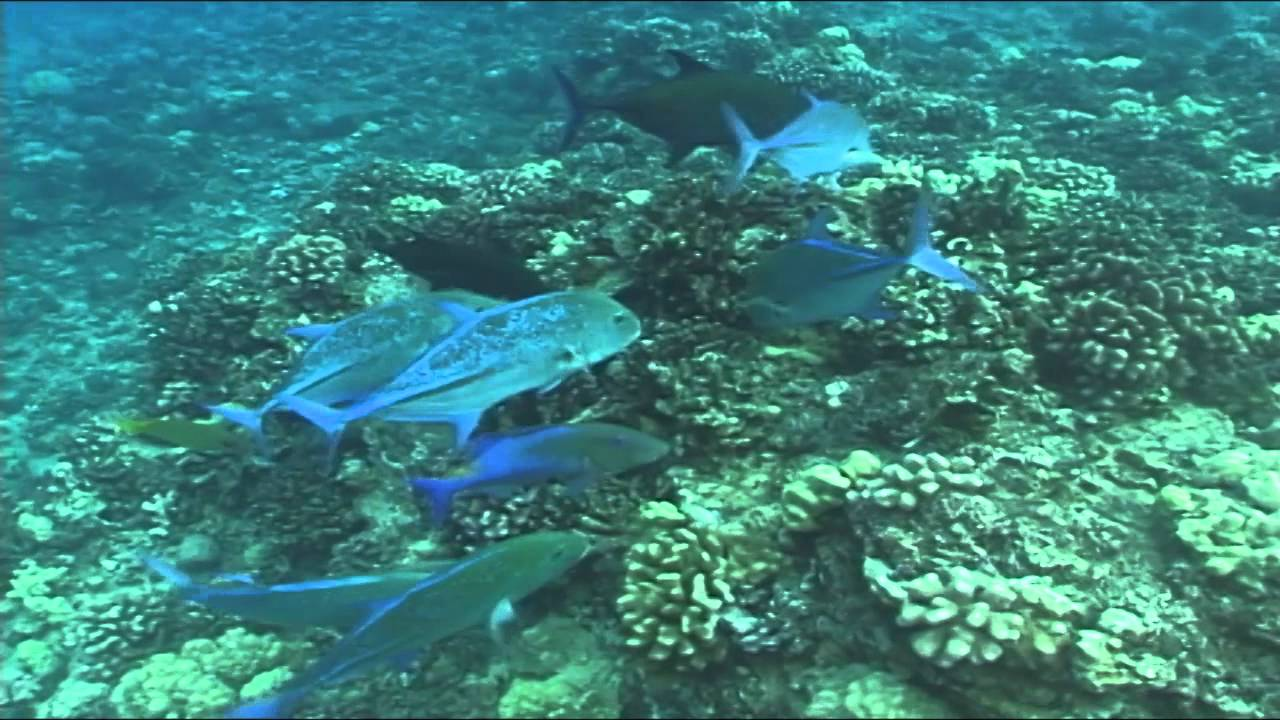 Best hawaiian reef fish frenzy youtube for Fish of hawaii