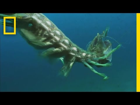 Aggro Mantis Shrimp | National Geographic