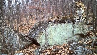 Великолепная четверка. Дальневосточные леопарды.