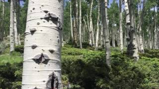 Meet Pando, the Trembling Giant—the world's oldest living organism