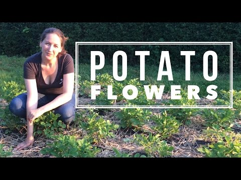What to do with the Potato Flowers? (Off grid Homestead Gardening)