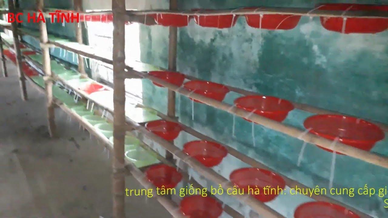 kỷ thuật làm tổ đẻ bằng rá nhựa cho chim bồ câu pháp nuôi dạng quần thể, BC hà tĩnh (phần 12)