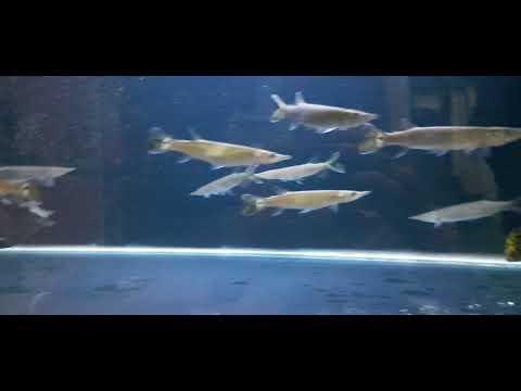 Predator Fish Hujeta Gar Si Roket Air Tawar And Tankmate Baby Ketang-ketang *MarsAquatic