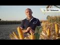 Zbiór kukurydzy na ziarno 2016 - SY Talisman
