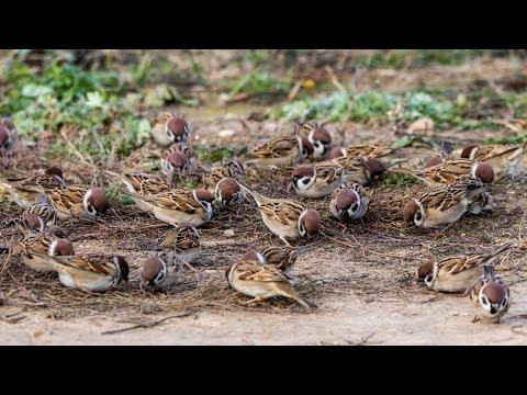 Стая полевых воробьев на кормежке. Passer Montanus. Птицы Беларуси.