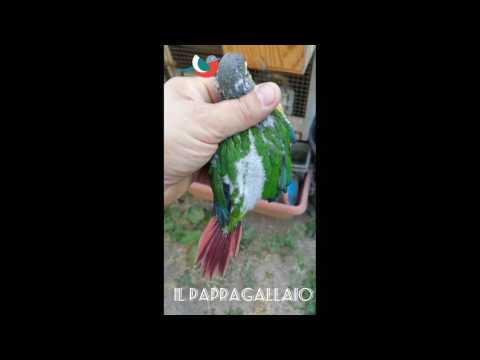 Pyrrhura molinae video fotografico dai genitori ai pulli svezzati