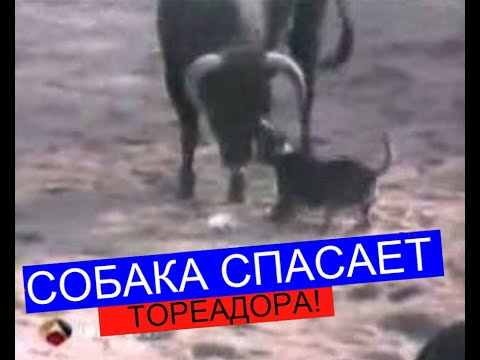 фото бой с быком