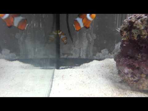 Clownfish - Odd Behaviour (Fast Breathing And Laying On Side)