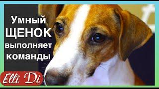 Дрессировка собак с Elli Di. Обучение щенка послушанию, базовые команды.