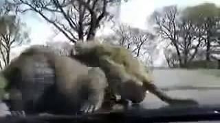 Safari monkey sex !