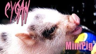 Cygan - MiniPig