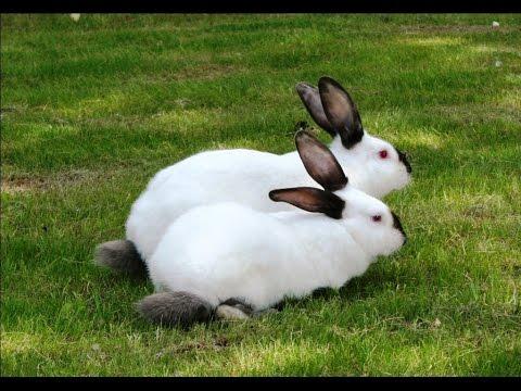 Выращивание кроликов в калифорнийских 632