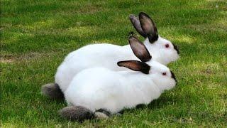 Разведение кроликов калифорнийской породы в ЛПХ Кубик