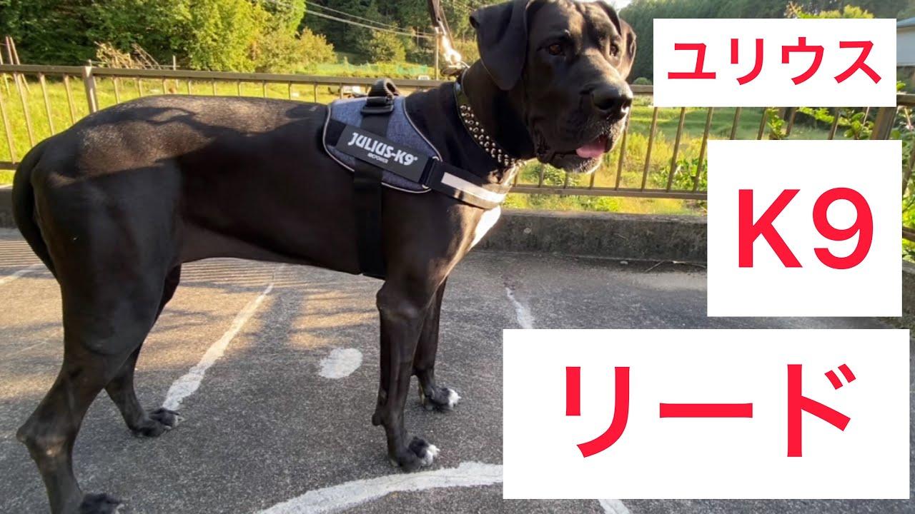 ユリウスK9 リード購入🐕🦺 しかし… 超大型犬 グレートデン クィーンちゃん 渡辺ボス ニューファンドランド ボス君