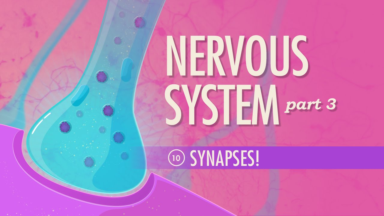 The Nervous System, Part 3 - Synapses!: Crash Course A&P #10 - YouTube
