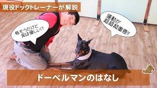 警察犬や護衛犬など怖いイメージがありがちな ドーベルマンですが神経質...