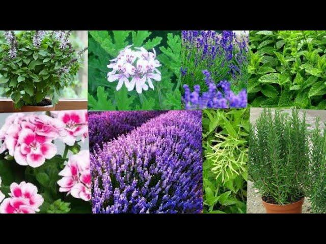 أكثر 10 نباتات النباتات العطرية مفيدة طبيا للإنسان Youtube