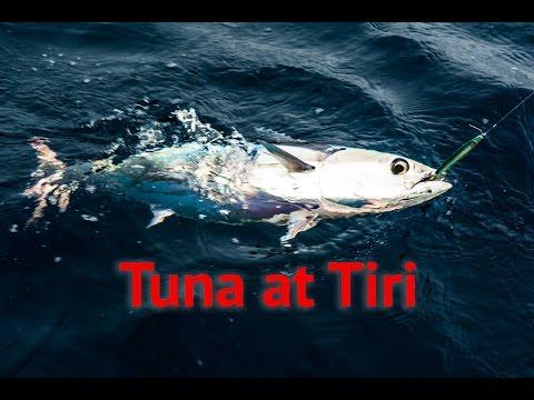 Catching Skipjack Tuna At Tiritiri-Matangi Island, Hauraki Gulf New Zealand