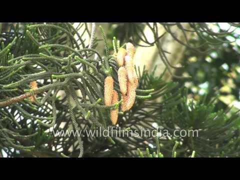 Araucaria columnaris or Cook pine tree