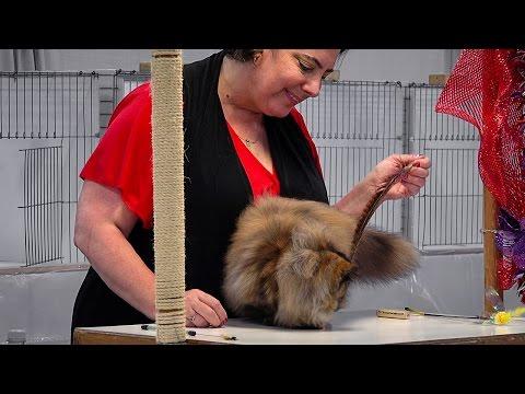 CFA International 2016 - Red Show class judging Persian kittens.2