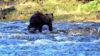 Cruising Alaska: A Brown Bear Fishing in a Frigid River