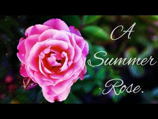 A Summer Rose