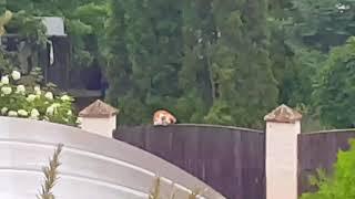 Про кота на заборе /Лена Воронова