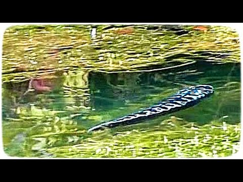 Snakehead Fish Enters Wrong Home