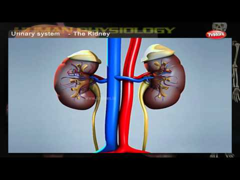 Urinary System | How Human Body Works | Human Body Parts and Functions | Human Anatomy 3d