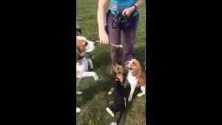 рога оленя для собак