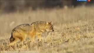 На Дону возросла численность шакалов, охотникам платят за отстрел(Больше новостей на официальном сайте ГТРК