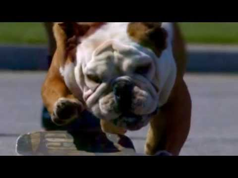 Skateboard Champion, but an English Bulldog !