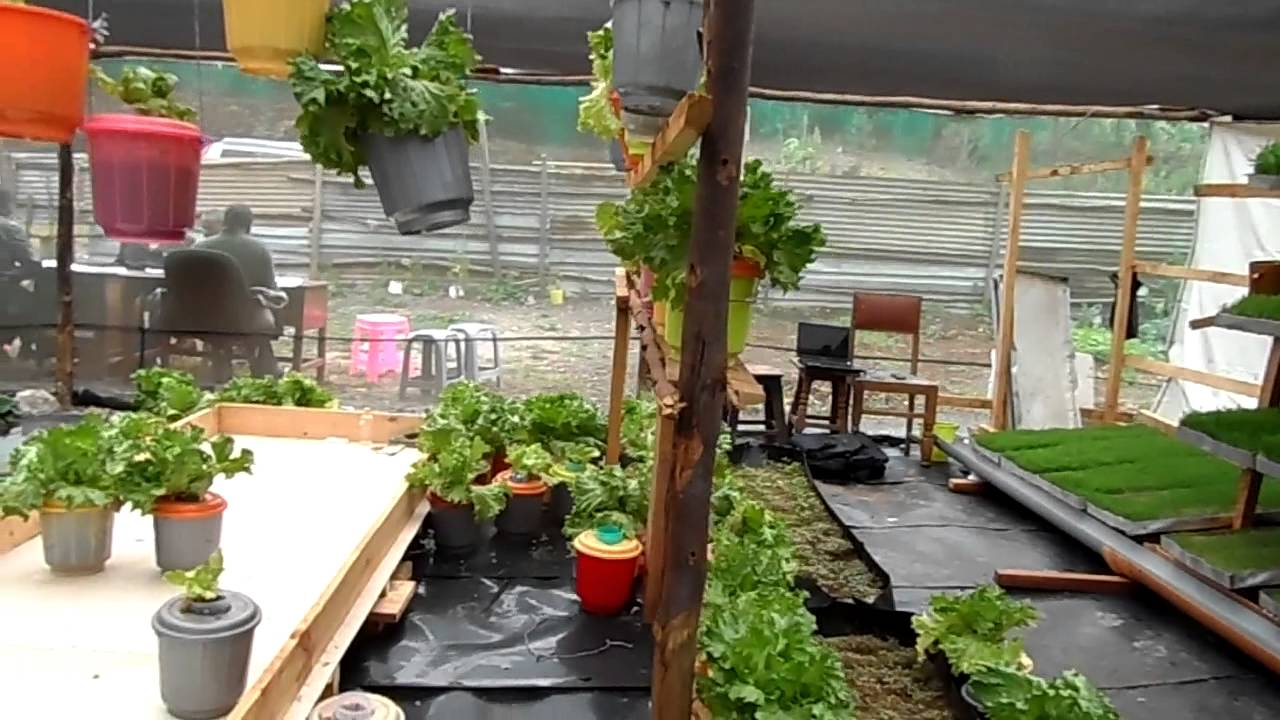 mkulima young mentor chege u0027s hydroponics magic at one plot in