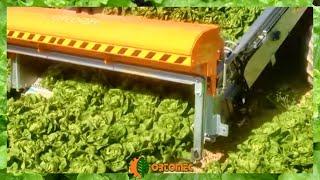 Lettuce mechanized harvester - raccolta meccanizzata lattuga - ORTOMEC