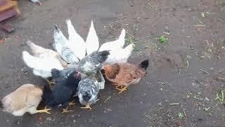 Мешанка для кур, индюков, уток, индоуток и гусей