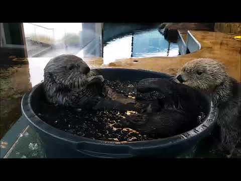Otter in a bucket
