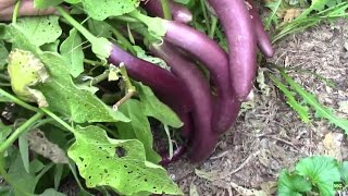 Severe Pruning Of Eggplant In August Leads To Lots Of Eggplants In September Youtube