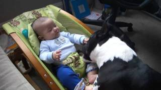 Amstaff playing with Baby