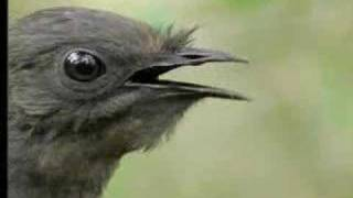 Amazing! Bird Sounds From The Lyre Bird - David At