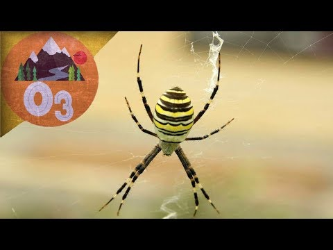 Вопрос: Где обитает белохвостый паук, он ядовитый или нет?